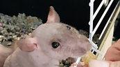 Hairless Rats