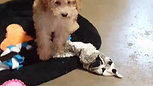 Shih-Tzu X Poodle Mix