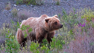 Grizzly close up