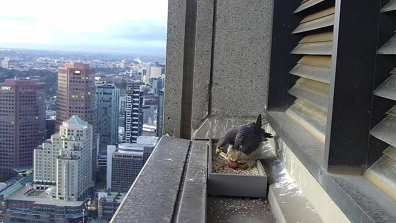 367 Collins St Falcons Season 2020 First Egg