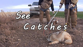 Trapping Coyotes in Agriculture Trailer