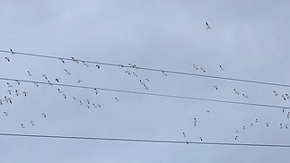 Snow Geese and Other Birds
