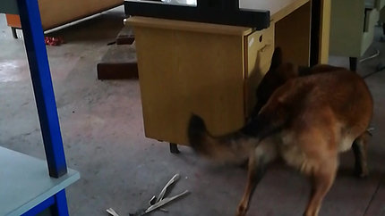Dressage Recherche chien adulte