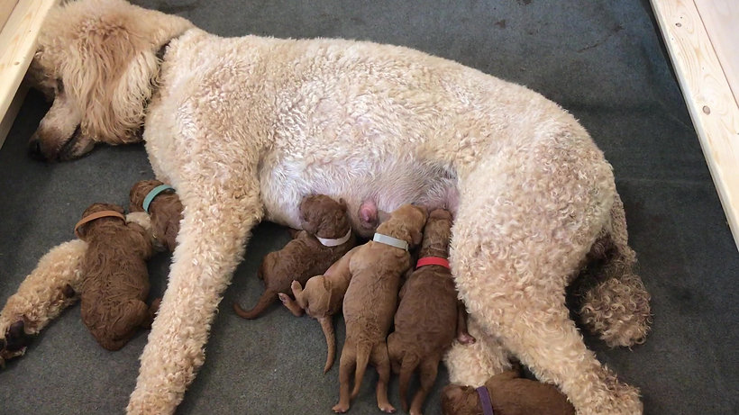 Ginger & her puppies