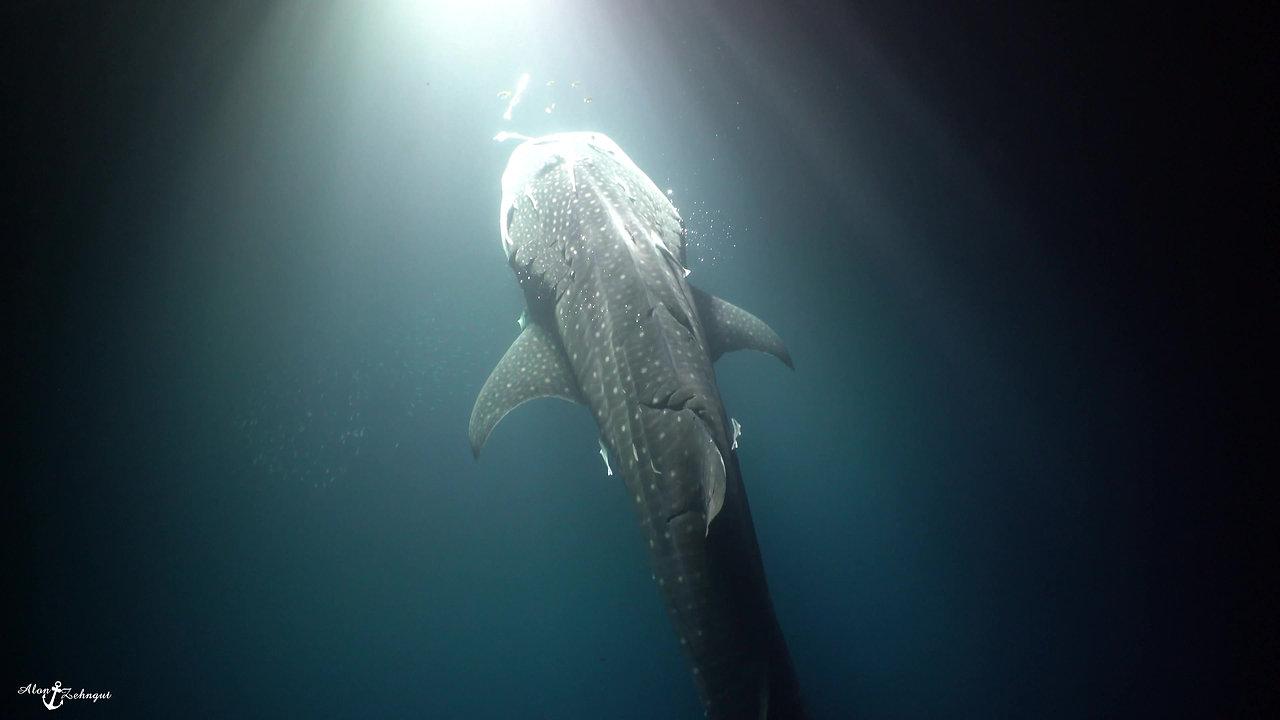 Deep Ocean-Whale Shark_0