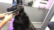 Flatcoated Retriever full grooming