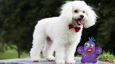Bumble the Retired Show Poodle