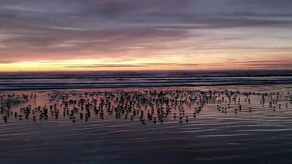Walk on Beach Sandpipers
