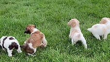 Star Wars litter of Brittany Spoodles