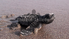Crías de tortuga