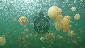 Medusas en Palau