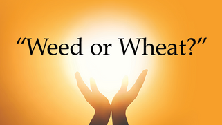 WEED OR WHEAT?