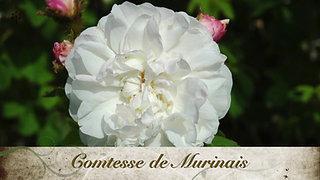 Rosa Belgica June 2020