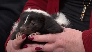 Rescuing a Skunk