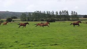 Les chevaux vivent en groupe dans de grandes parcelles