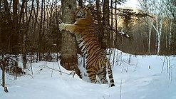 Tiger Ochkarik