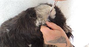 Nettoyage des oreolles