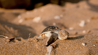 Turtles of Northern Cyprus