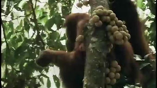 Lesson 1 Organgutans in BBCs Wild Indonesia