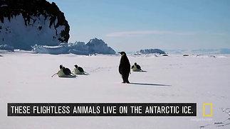 Lesson 1 Emporer Penguins