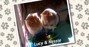 Pam's Guinea Pig Nessie