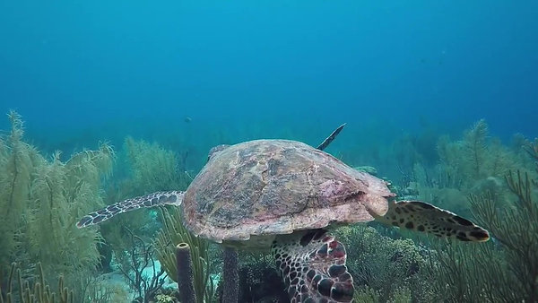 Sea Turtle Conservation Bonaire