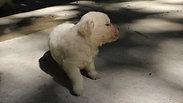 Playful Golden Retriever puppies