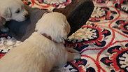 ADORABLE Puppies 4 weeks!