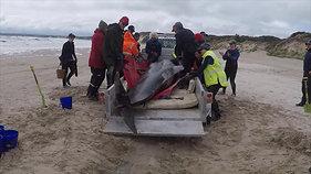 Pilot Whale Stranding_Strahan_ (5)