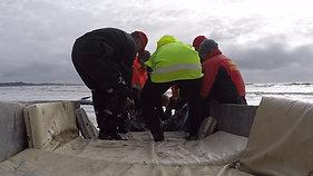 Pilot Whale Stranding_Strahan_ (2)