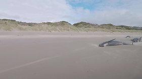 Pilot Whale Stranding_Strahan_ (1)