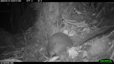 tropical rodent eats experimental seeds