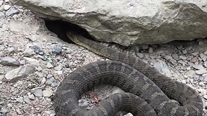 Northern Water Snake/Couleuvre d'Eau