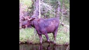 Moose/Orignal