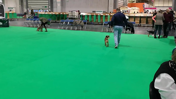 Warm up @ Crufts 2019 - Border Terrier