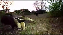 Giant anteater , a close encounter