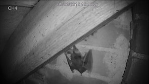 Bat leaves the attic space