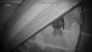 Long eared bat enters the attic space