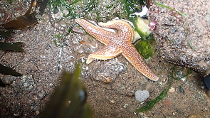 Common starfish, Maer Rocks