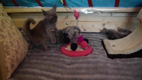 Kitten Kiss Chase