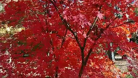 Fall Color Red Maple Tree