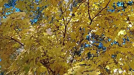 Fall Color Yellow