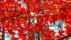 Fall Color Red