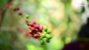 It's Not Just A Cup Of Coffee - Finca Majahual