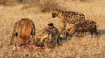 Spotted hyaena feeding