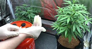 How To Clone Cannabis Plants with 100% Success Rate Every Time