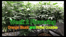 Week 2 Flowering Orange Skunk & Royal Cookies Stretching Up