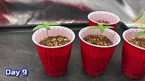 Cannabis Grow Guide Episode 3 seedlings days 6 through 10