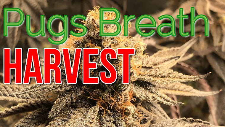 Cannabis Harvest Videos