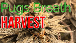 Half Pound Harvest In 2x4 Grow Tent Pugs Breath